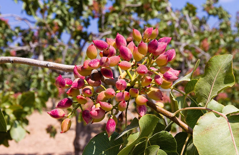 Pistachio, a unique product with its own festival